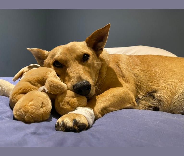 Photo of Hank, an American Pit Bull Terrier, German Shepherd Dog, Maltese, and Mixed mix in Cape Town, Western Cape, South Africa