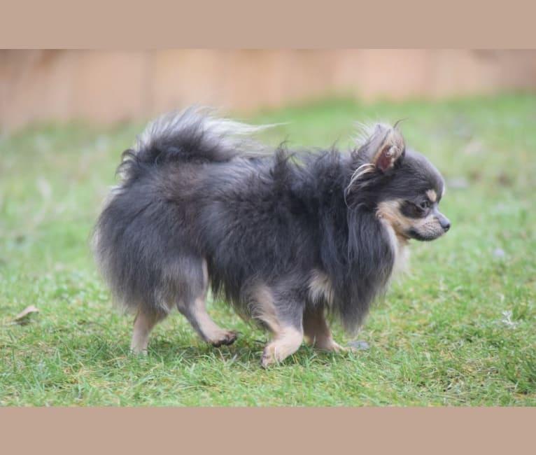 Photo of Macs, a Chihuahua  in Michigan, USA