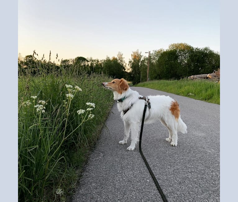 Photo of Hjalmar, a Border Collie, Russell-type Terrier, and Collie mix in null