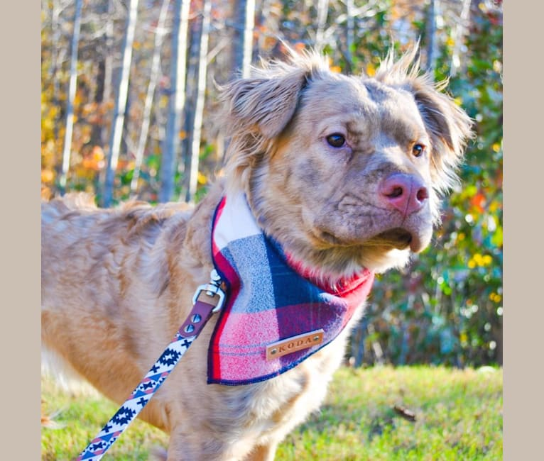 Photo of Koda, an American Pit Bull Terrier, Chow Chow, Boxer, and Australian Cattle Dog mix in Durham, North Carolina, USA