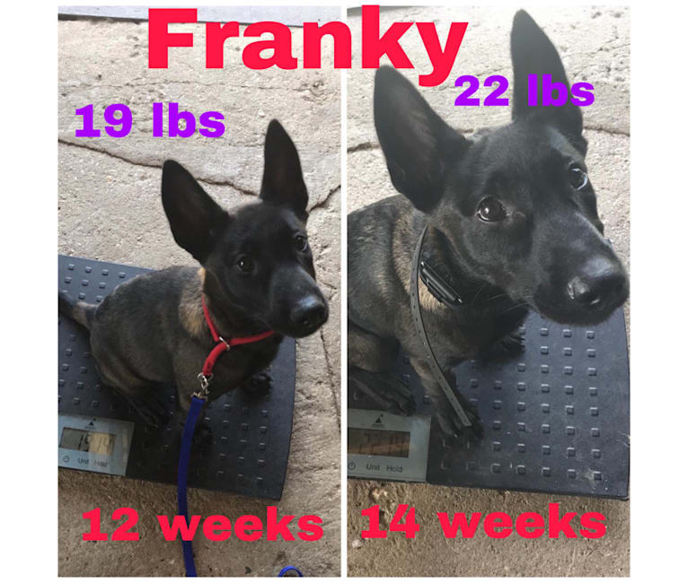 Photo of Franky, a Belgian Shepherd  in Illinois, USA