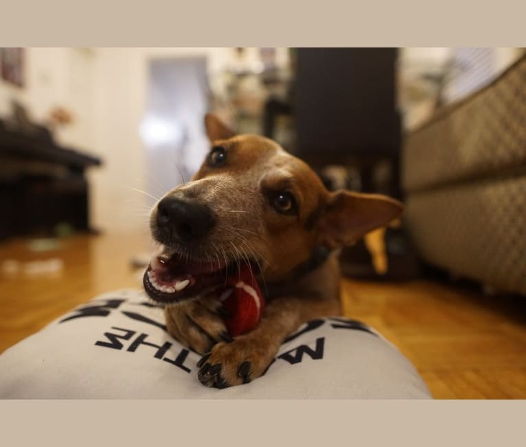Photo of Brizzy, an Australian Cattle Dog and Welsh Terrier mix in Chicago, Illinois, USA