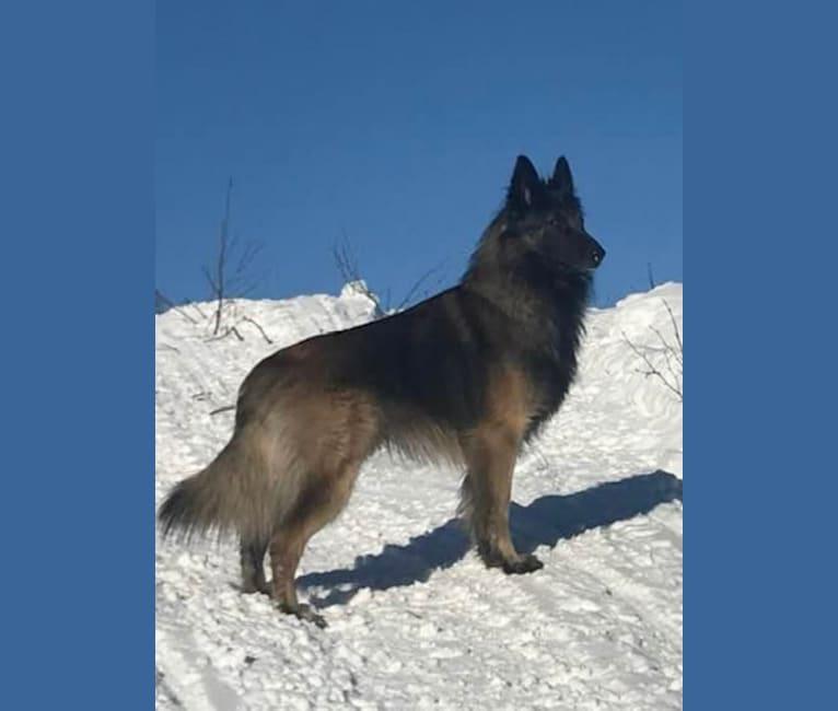 Photo of Shine, a Belgian Shepherd  in Phoenix, AZ, USA