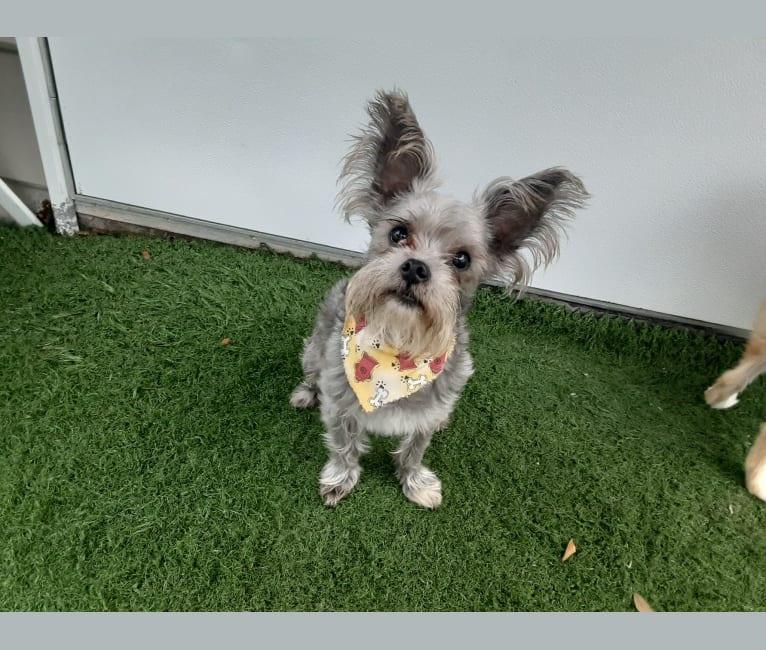 Photo of Jack, a Chihuahua and Maltese mix in Thonotosassa, Florida, USA