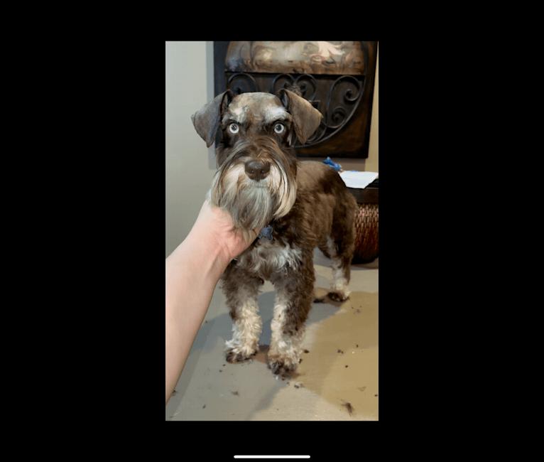Photo of Hansel, a Miniature Schnauzer  in Searcy, Arkansas, USA
