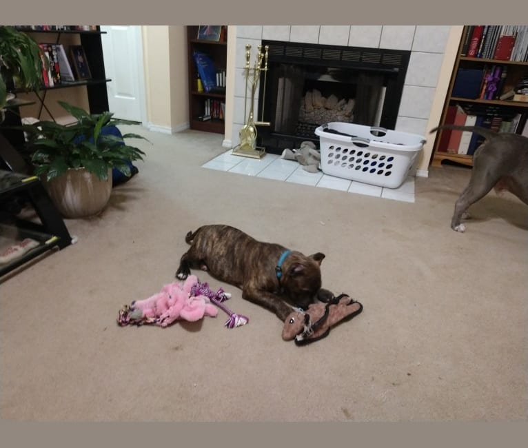 Photo of Captain Crunch, an American Bully  in Virginia, USA