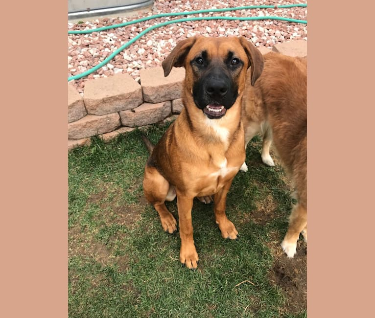 Photo of Birdie Roo, a German Shepherd Dog, Boxer, Rottweiler, and American Pit Bull Terrier mix in Texas, USA