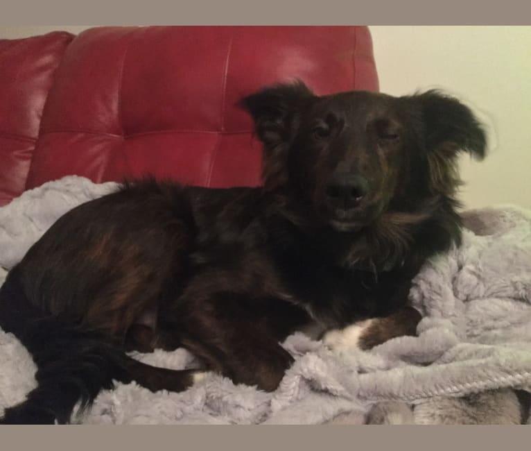 Photo of Milo, an Australian Shepherd, Shetland Sheepdog, and Mixed mix
