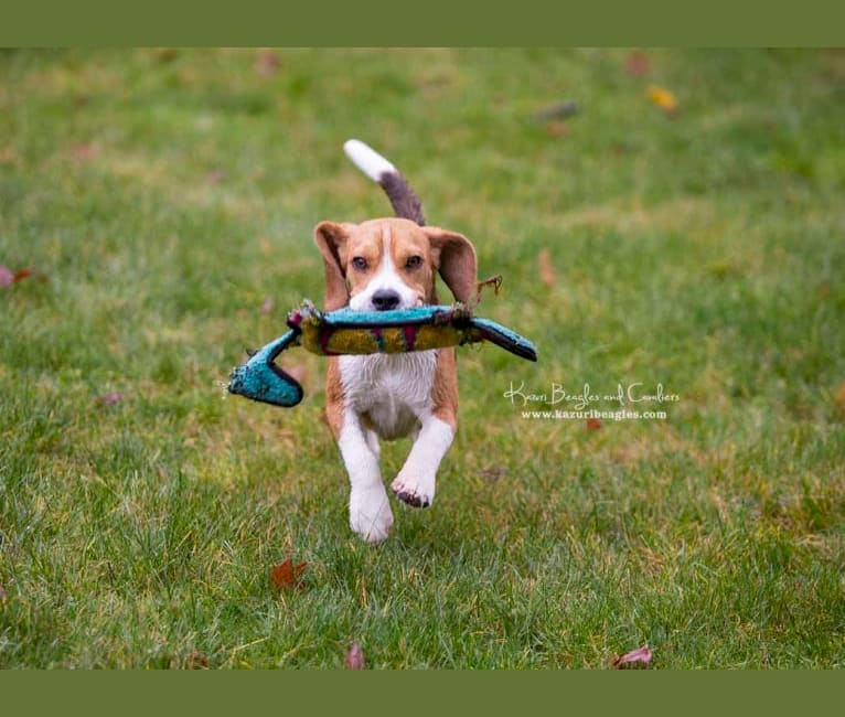 Photo of Sir, a Beagle