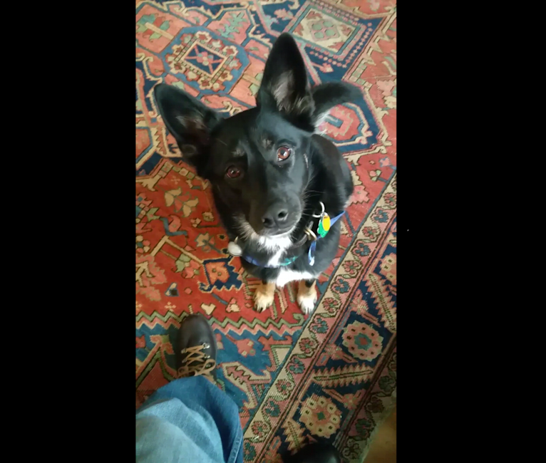 Photo of Cassie, a German Shepherd Dog, Border Collie, and Shih Tzu mix in Maine, USA