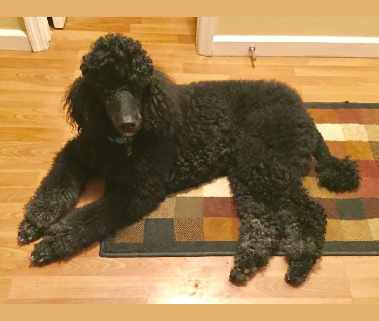 Photo of Smoky Bear Cupp, a Poodle (Standard)  in Eaton, OH, USA