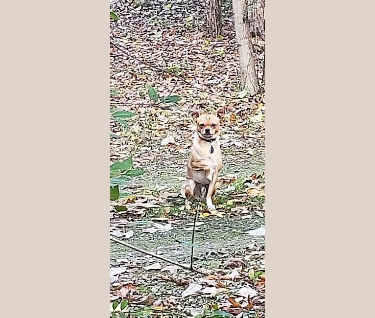 Photo of Stinker, a Chihuahua