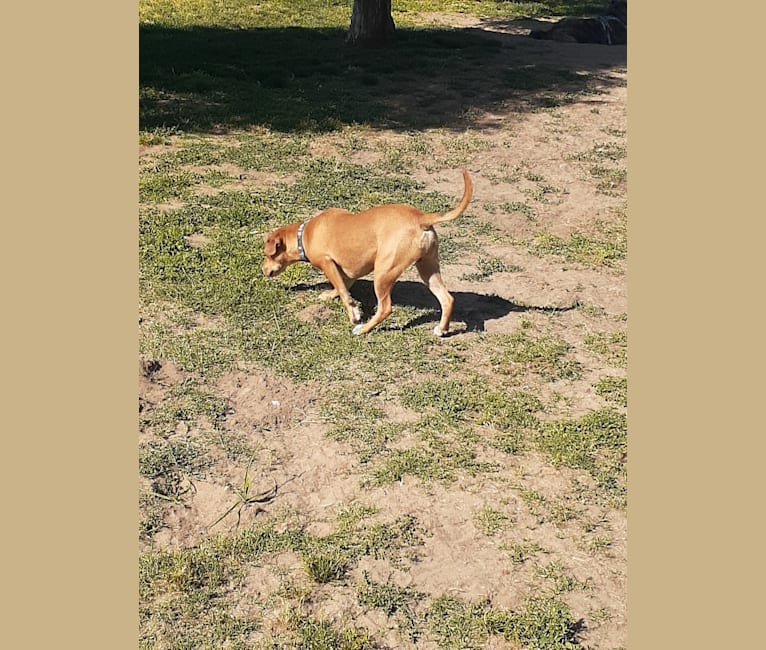 Photo of Wilbur, an American Pit Bull Terrier, Chihuahua, and American Staffordshire Terrier mix in Turlock, California, USA