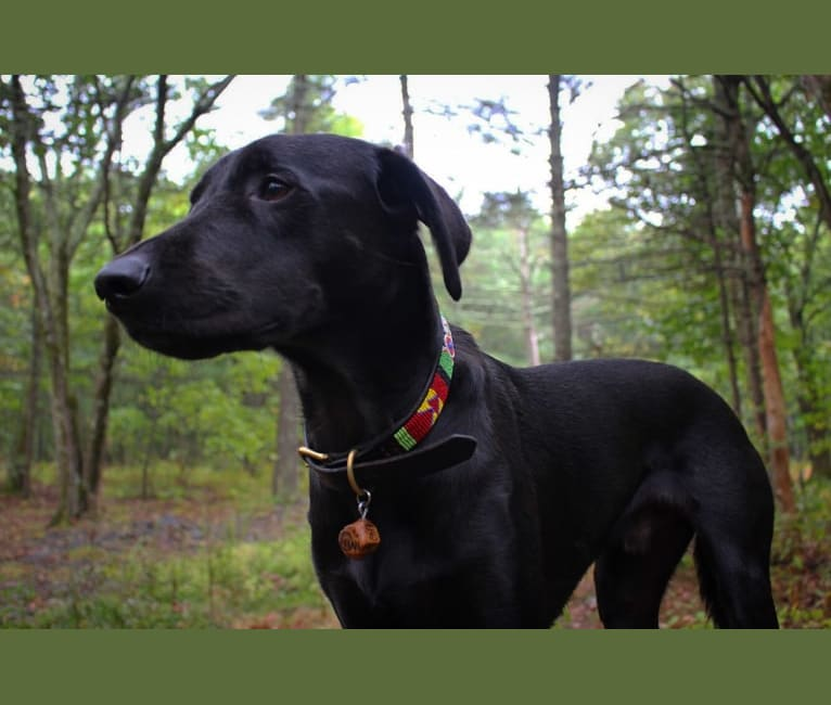Photo of Titan, a Labrador Retriever and Golden Retriever mix in Tennessee, USA