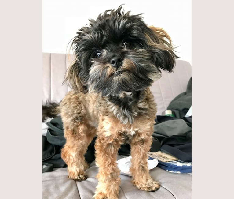Photo of Nymeria, a Poodle (Small) and Havanese mix in Grovespring, MO, USA