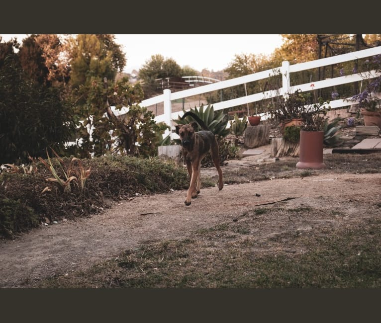 Photo of Sonny, a Belgian Malinois, American Pit Bull Terrier, German Shepherd Dog, and Mixed mix in Baja California, Mexico