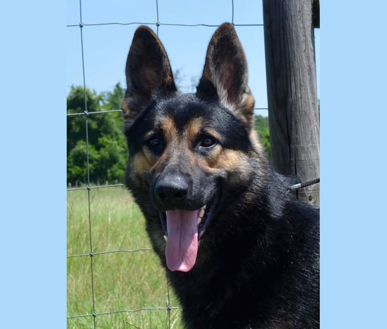 Photo of Lightning, a German Shepherd Dog  in Texas, USA