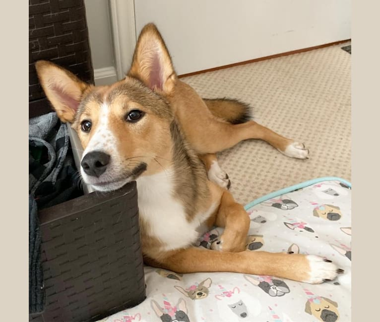 Photo of Maki, a Shiba Inu, Collie, and Australian Cattle Dog mix in Mifflintown, PA, USA