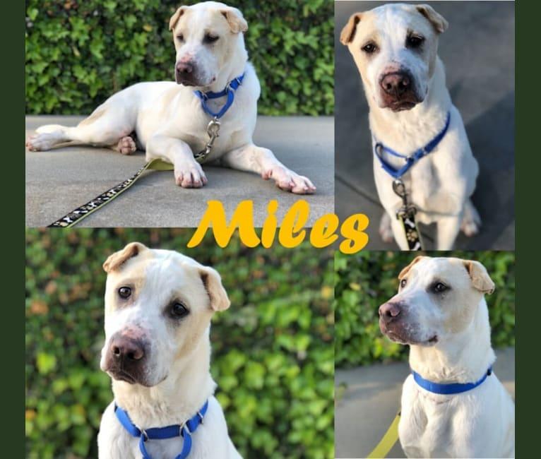 Photo of Miles, a Southeast Asian Village Dog  in San Jose, California, USA