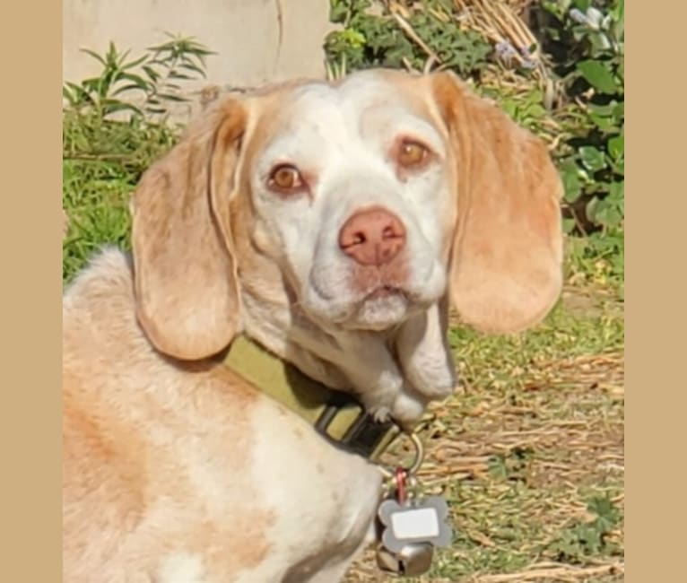 Photo of Takoda aka Elvis, a Beagle  in California, USA