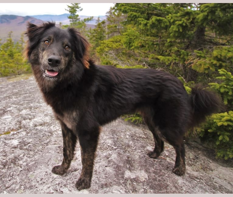 Photo of Tuli, a German Shepherd Dog, American Pit Bull Terrier, Chow Chow, Labrador Retriever, Rottweiler, and Mixed mix in Puerto Rico