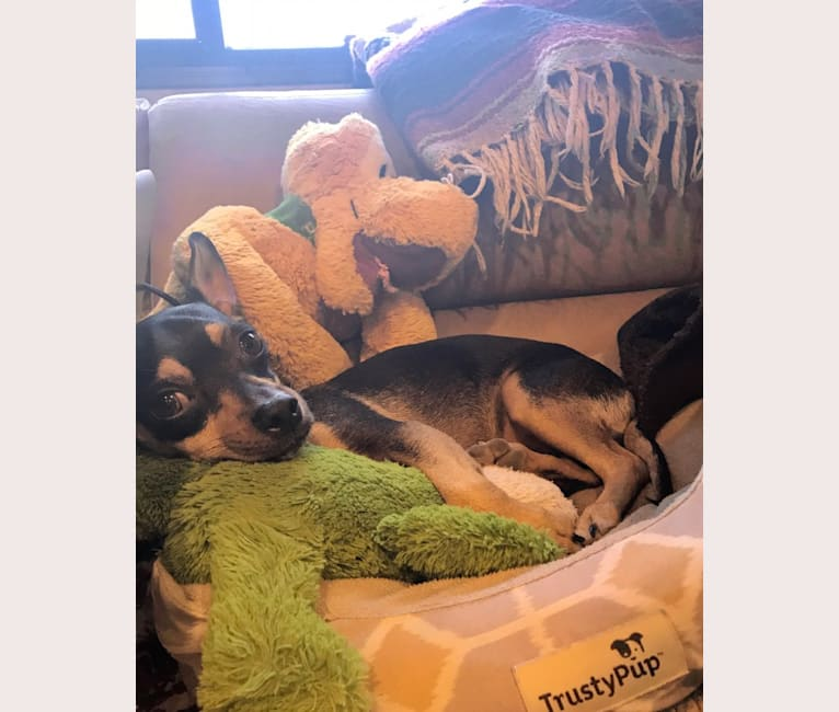 Photo of Chico, a Chihuahua and Miniature Pinscher mix