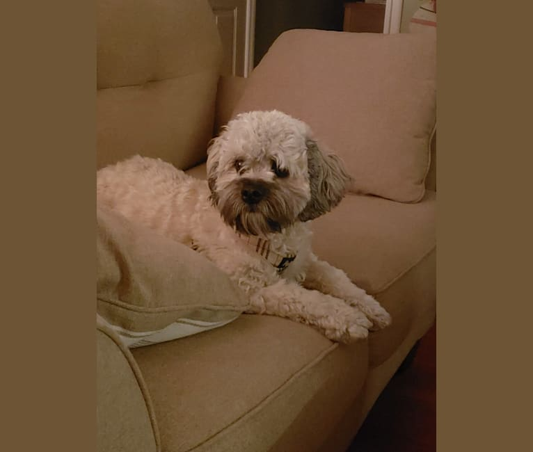Photo of Cooper, a Poodle (Small), Pekingese, and Rat Terrier mix in Mississippi, USA