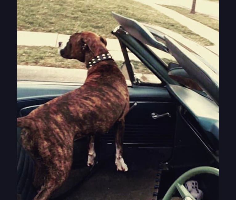 Photo of Shay, a Boxer and American Pit Bull Terrier mix in Overland Park, Kansas, USA