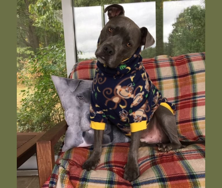 Photo of Wallace, a Staffordshire Terrier  in Mississippi, USA