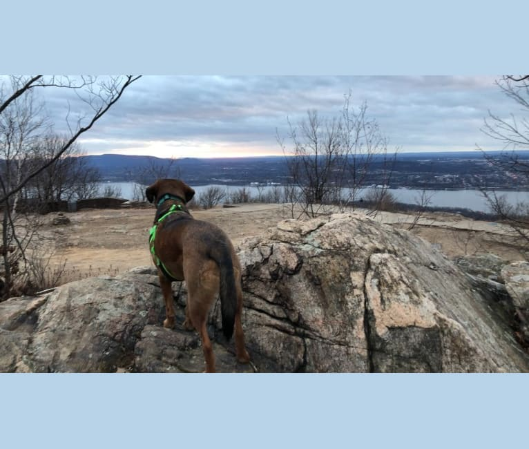 Photo of Rufus, a Rottweiler, Beagle, Bluetick Coonhound, Golden Retriever, and Labrador Retriever mix in Virginia, USA