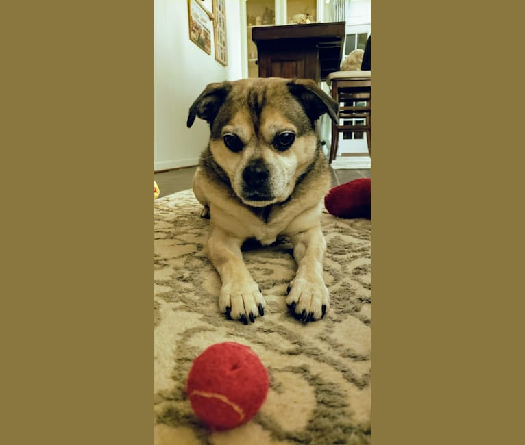 Photo of Atlas, a Pug, Beagle, and Australian Cattle Dog mix in Bloomfield Twp, Michigan, USA