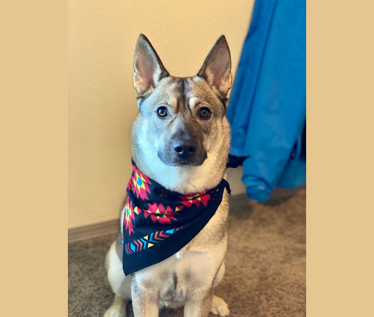 Photo of Sona, a Norwegian Elkhound and Siberian Husky mix in Manhattan, Kansas, USA