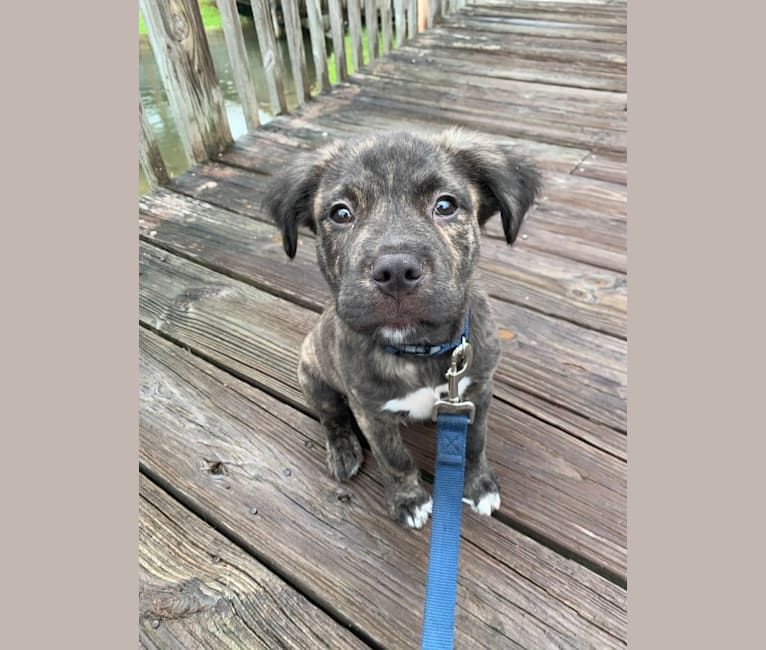Photo of Sloan, an American Pit Bull Terrier, American Staffordshire Terrier, and Mixed mix in Georgia, USA