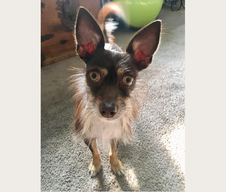 Photo of May, a Chihuahua, Lhasa Apso, Pomeranian, and Mixed mix in Georgia, USA