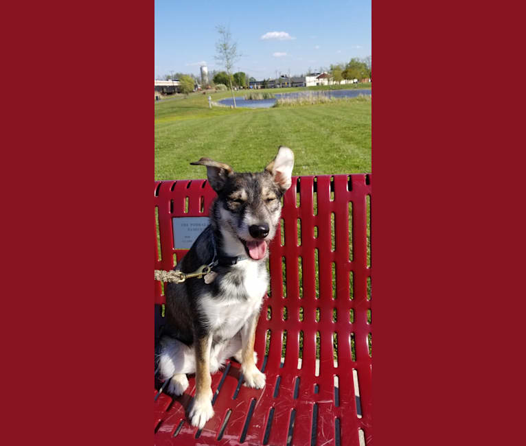 Photo of Dexter, a Miniature Schnauzer, Australian Cattle Dog, and Mixed mix in Louisiana, USA