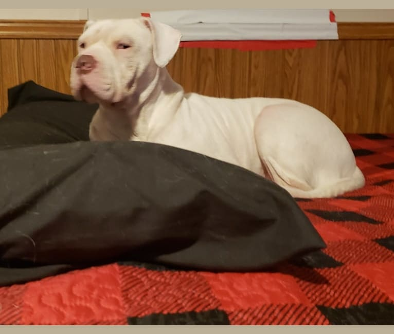 Photo of Storm, an American Bulldog