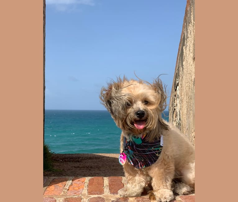 Photo of Simón, a Shih Tzu, Chihuahua, Pekingese, Poodle (Small), and Mixed mix in Puerto Rico
