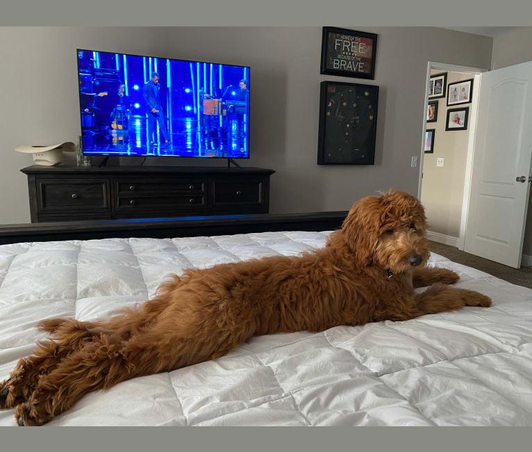Photo of Noel, a Goldendoodle  in Menifee, California, USA