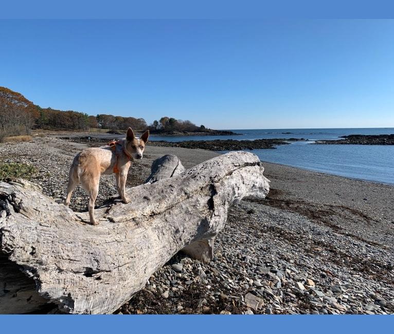 Photo of Sydney, an Australian Cattle Dog  in Massachusetts, USA