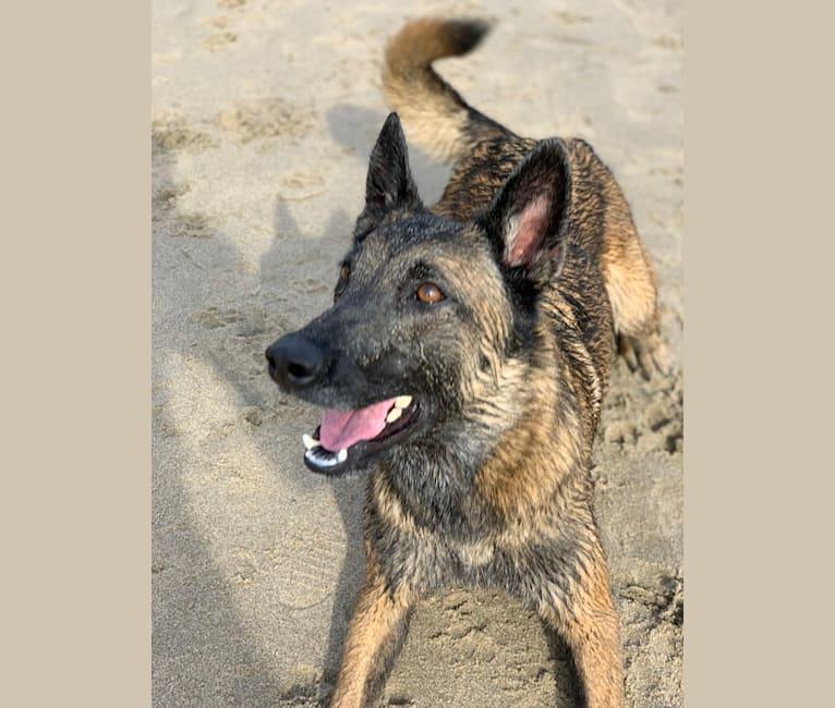Photo of DITA, a Belgian Shepherd