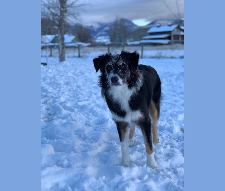 Photo of Otter, a Border Collie and Australian Shepherd mix in Montana, USA