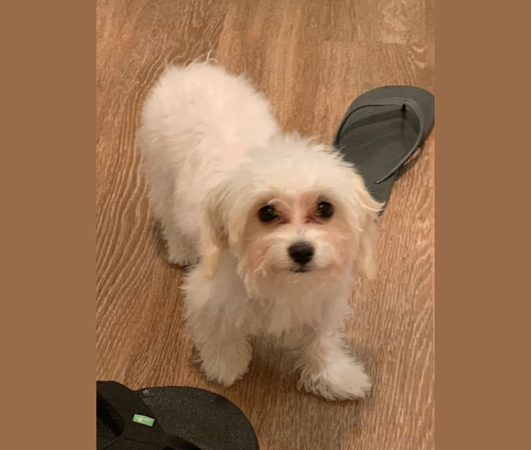 Photo of Gizmo, a Poodle (Small), Chihuahua, Dachshund, Pekingese, Bichon Frise, and Pomeranian mix in Hayward, California, USA