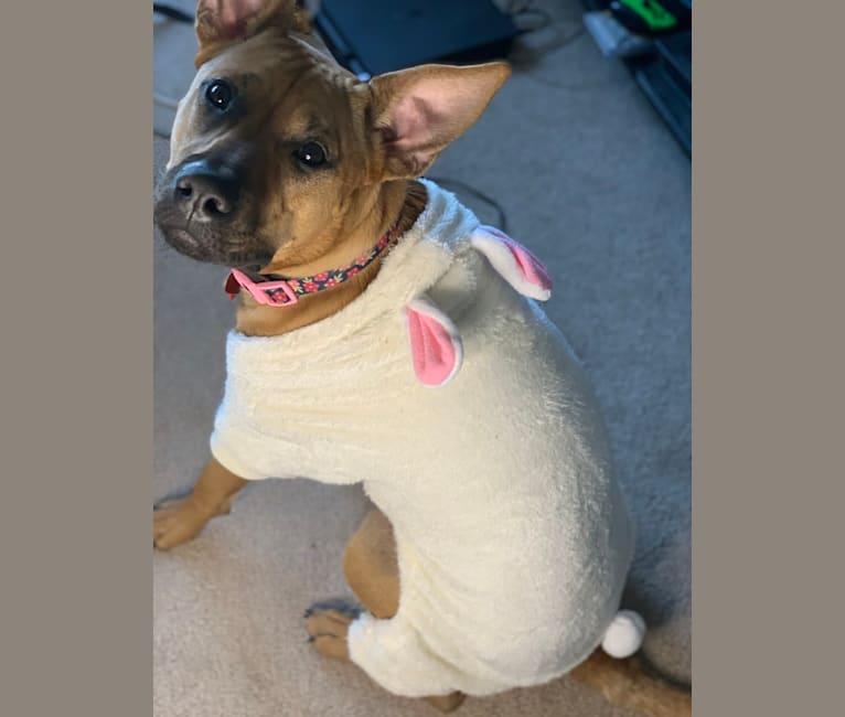 Photo of Pixxi, an American Pit Bull Terrier, Boxer, Chow Chow, Labrador Retriever, and Australian Shepherd mix in Carmel, Indiana, USA