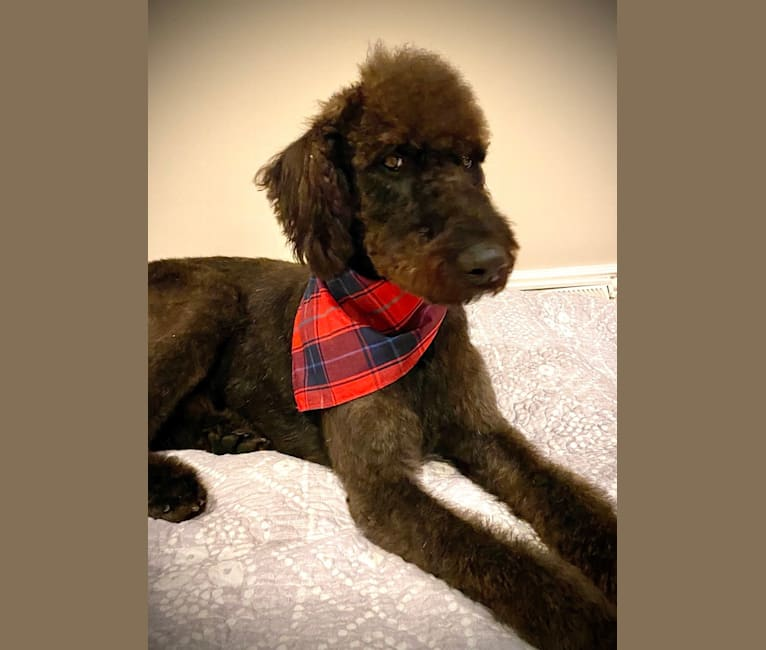 Photo of Bowie, an Airedale Terrier and Poodle (Standard) mix in Pennsylvania, USA