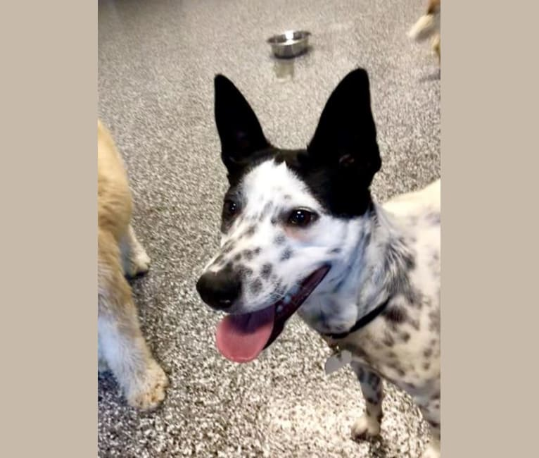 Photo of Sigmund, a Rat Terrier, Australian Cattle Dog, and Border Collie mix in Missouri, USA