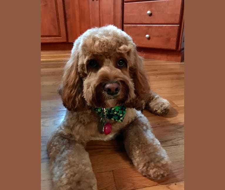 Photo of Ellie, a Cockapoo  in Ephrata, PA, USA