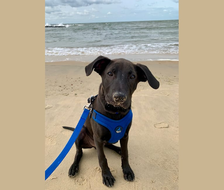 Photo of Fauci, a Golden Retriever, Beagle, Boston Terrier, Treeing Walker Coonhound, Chow Chow, and Mixed mix in Norfolk, Virginia, USA