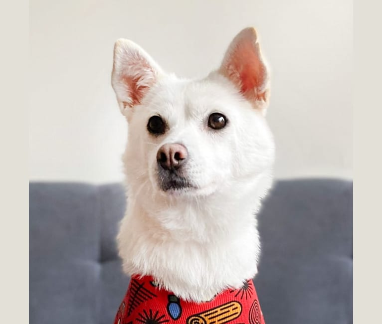 Photo of Emmy, a Japanese and Korean Village Dog and Maltese mix in Seoul, Seoul, South Korea