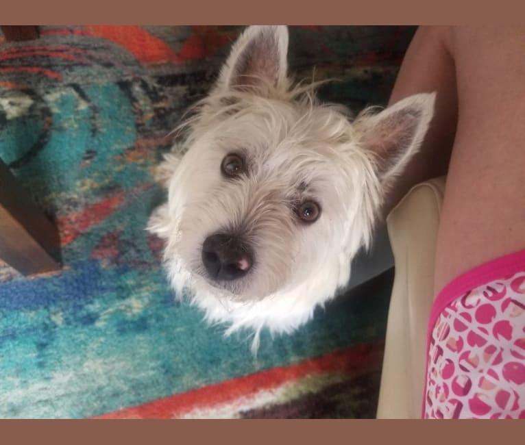 Photo of Sufjan Stevens, a West Highland White Terrier  in Bentonville, Arkansas, USA