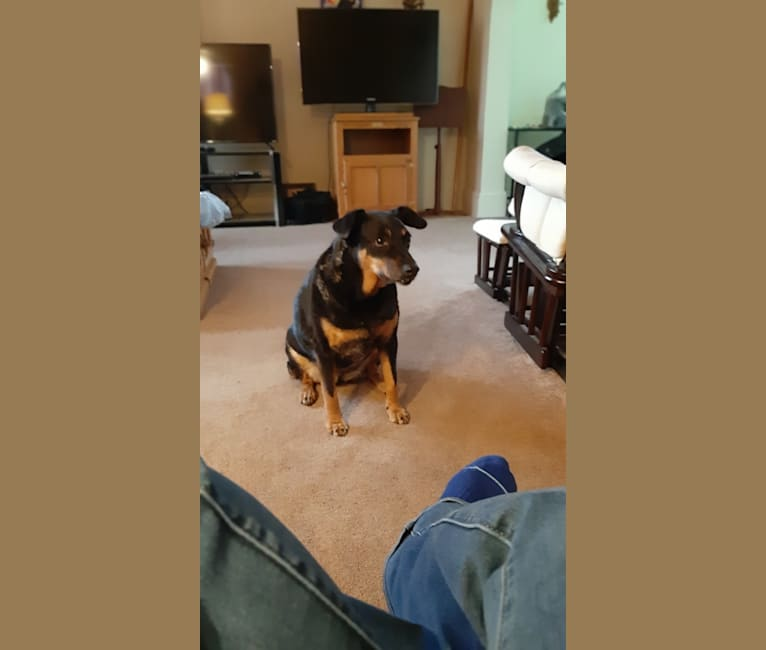 Photo of Josie, an Australian Cattle Dog, Beagle, and Mixed mix in Barberton, Ohio, USA
